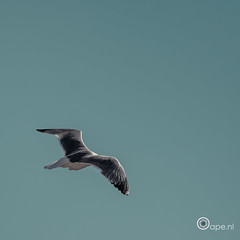 Soar (Oape) Tags: sky bird nature fauna fly flying outdoor seagull feathers cagliari soar