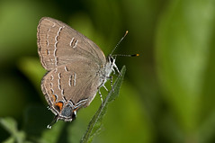 Banded Hairstreak 3 (violetflm) Tags: june butterfly insect parkinglot native best il northbrook hairstreak spg satyriumcalanus bandedhairstreak d300s 45orless d3u4505