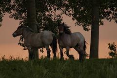 boerenknollen (dirkvervoort) Tags: zonsondergang zeeland paarden vlaanderen nedeland emmadorp boerenpaarden