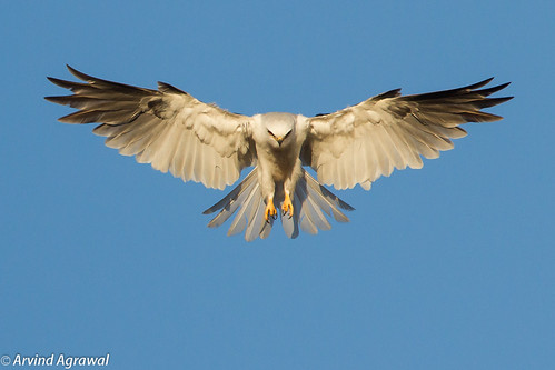 White-Tailed Kite Hunting (Explored July 30, 2012) - IMG_3757