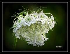 Queen Annes Lace (clickclique) Tags: white flower green young queenanneslace oromocto