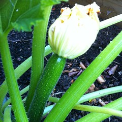 Growing courgette