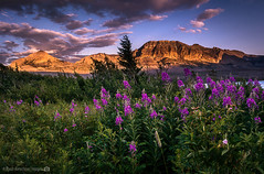 Flowers and Alpineglow in Glacier NP (RyanKirschnerImages) Tags: glaciernationalpark mountains montana nationalpark landscape sunset flowers alpineglow nature