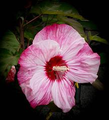 Hibiscus (judy dean) Tags: 2016 sonya6000 switzerland flower hibiscus judydean pink mainau constance judy dean naturethroughthelens
