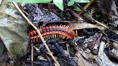 Flat-backed Millipede sp (Baractus) Tags: looks hill flatbacked millipede john oates cayo belize