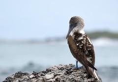 DSC_2217_2 (miwin) Tags: galapagos ecuador bluefootedbooby bird nature depthoffield bokeh