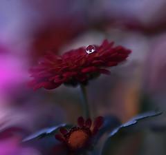 ~~`o`~~ (Juliana Nan) Tags: macro flower closeup drop nikon reflections colors colorful awesome water wallpaper waterdrop red