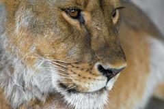 Il se soucie de toi. (- Ali Rankouhi) Tags: lioness iran mazandaran babolsar zoo eyes deep emotions