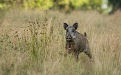 Cochon ! (Eric Penet) Tags: laie mormal sauvage sanglier animal avesnois boar wildlife wild mammifre suid fort france faune femelle forest locquignol t aot mammal