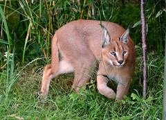 Caracal on the prowl! - Big Cat Santuary at Smarden. Kent. (One more shot Rog) Tags: caracal cat cats bigcats whf wildlifeheritagefoundation bigcatsanctuary smarden whiskers ears lynx caracalcat nikond7100 d7100