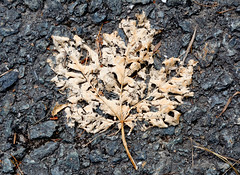 Skeleton (x ME x) Tags: canada skeleton skelett ahorn acer maple leaf blatt tar teet strase street decay verfall vertrocknet d5200 nikon