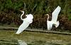 Great Egret Ballet (shelshots) Tags: greategrets egrets waterbirds ballet wings feathers fly flight