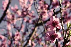 SAKURA  (Luciana Garca) Tags: nikon d7200 photography fotografia agosto 2016 flores flower flora salsipuedes sakura nature naturaleza argentina crdoba