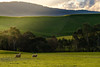 Two Sheep in a Paddock near Yea, Victoria, Australia (gazrad) Tags: agriculture colour country eucalyptus farm fertile field flare green hills horizontal merino nobody northeastvictoria paddock rolling rural sheep southernblackbream two victoria yea