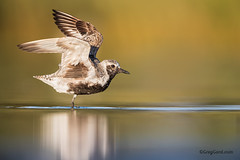 Black-bellied Plover (Greg Gard) Tags: 1dxii 600mm black greggard gregorygard pluvialissquatarola armpit bbpl bird birdphotography birding blackbelliedplover canon fallmigration greggardcom molting nature plover shorebird shorebirds wildlife wings spot