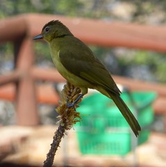 Yellow-bellied Greenbul (tapaculo99) Tags: birds aves africa southafrica krugernationalpark bulbul greenbul yellowbelliedgreenbul chlorocichlaflaviventris