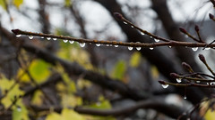 Raindrops train (LEGTello) Tags: yellow acer autumn beautiful beach beauty branch branches brown clena clear fall flower forest leaf leaves maple natural leave plant rain raindrop reflection tree trees water