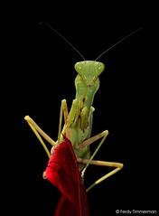 Praying mantis, Bali, Indonesia (Ferdy Timmerman) Tags: praying mantis mantodea insect invertebrate arthropod animal wild wildlife bali indonesia asia tropical nikon d90 nikkor 105 mm micro 28 macro closeup portrait mantid biology fauna green red blackbackground