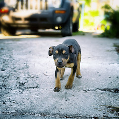 stray (paulh192) Tags: dog puppy stray running cute mutt downlow bokeh grandrapids michigan leica littledoglaughedstories