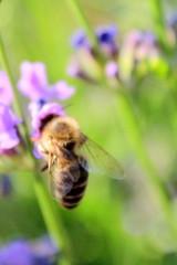 (sonicka.karen) Tags: nature bee flower lavender summer macro