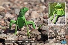 0903 IMG_9521 (JRmanNn) Tags: commonzebratailedlizard lakemead lizard