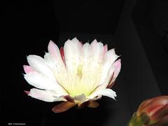 Cereus Peruvianus  agosto 2016 (Paolo Bonassin) Tags: flowers cactaceae cactacee cactus succulente cereus cereusperuvianus
