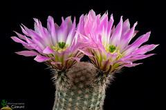 Echinocereus pectinatus (clement_peiffer) Tags: echinocereus pectinatus d7100 105mm nikon cactus fleurs flower cactaceae succulent flowerscolors