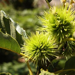 Chestnuts at The Old House on the flanks of Mount Etna #mountetna #sicily #italy #chestnut #tree #garden #food #nut #travel #plants (dewelch) Tags: ifttt instagram chestnuts the old house flanks mount etna mountetna sicily italy chestnut tree garden food nut travel plants