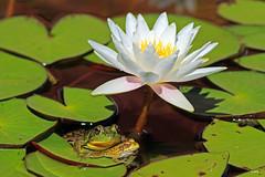 Move Over !! (Wonder Woman !) Tags: frog lilypads nature michigan usa pond