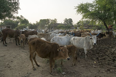 Cows in the morning (wietsej) Tags: sony6000 sonycarlzeissvariotessart1670mmf4zaoss cows morning maikal hills chhattisgarh india