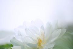 Lotus #3 (daniel0027) Tags: whitelotus pureness  lotusflower nelumbonucifera eastindianlotus summer multipleexposure