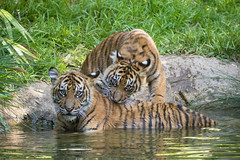 Nelson and Cathy (ToddLahman) Tags: nelson cathy joanne teddy sandiegozoosafaripark safaripark sumatrantiger babysumatrantiger tigers tiger tigertrail tigercub escondido exhibitb canon7dmkii canon canon100400 water pond