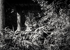 Waiting & Watching (Chr1is76) Tags: sumatrantiger southlakessafari captive zoo summer bw nikon sigma