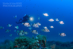 Tho-banded seabreams school and diver (Nicolas & Lna REMY) Tags: wildlife france marinelife underwater ocean alpesmaritimes rebreather revo sar fish seabream nauticam inon europe frenchriviera mediterranea ctedazur diving mer mditerrane photography plonge poisson recycleur scuba sea wild