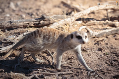 Guardian of the Kgalagadi (dieLeuchtturms) Tags: 3x2 africa afrika dornbuschsavanne dornstrauchsavanne erdmnnchen feloidea hardap herpestidae kalahari katzenartige kgalagadi mangusten meerkat namibia suricatasuricatta