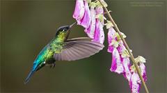 Fiery-throated Hummingbird - Costa Rica Photo Tours (Raymond J Barlow) Tags: hummingbird fierythroated costarica nature naturallight phototours raymondbarlow travel adventure camera