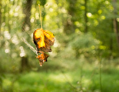 Caught in the Web-8873 (MVMoorePhotography) Tags: leaf web light bokeh nature naturethroughthelens outdoors colors