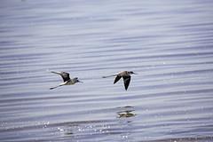 Black-necked Stilts (surfneng) Tags: birds bombaybeach saltonsea blackneckedstilts