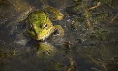 Marsh Frog, Pelophylax ridibundus (marksedgwick55) Tags: nature wild pelophylaxridibundus amphibian frog marsh marshfrog cordata vertebrata amphibia green refelection light evening france charante moeze pond