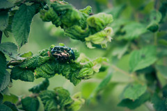 Jewel (gwilwering) Tags: cetoniinae branch bug chafer closeup dof green insect nature plant       altay pavlovsk   sonya350