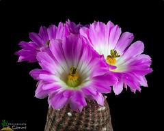 Echinocereus regidissimus v.rubrispinus (clement_peiffer) Tags: echinocereus rigidissimus v rubispinus d7100 105mm nikon cactus fleurs flower cactaceae succulent flowerscolors