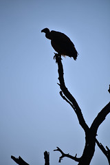 Vulture silhouette, South Africa (Michelle Tuttle) Tags: vulture bird wild wildlife africa southafrica bush nature sillouette silhouette