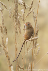 Harvest Mouse (Alastair Marsh Photography) Tags: harvestmouse harvest harvestmice mouse mice mammal mammals smallmammal smallmammals animal animals animalsintheirlandscape wildlife britishwildlife britishanimals britishanimal britishmammals britishmammal