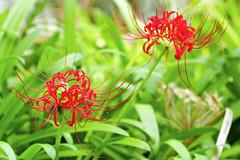Red Spider Lily:  (Dakiny) Tags: 2016 autmn september japan kanagawa yokohama aoba ichigao city street outdoor nature field plant flower blossom amaryllis hurricanelily redspiderlily red macro bokeh nnikon d7000 sigma apo 70200mm f28 ex hsm apo70200mmf28exhsm sigmaapo70200mmf28exhsm nikonclubit
