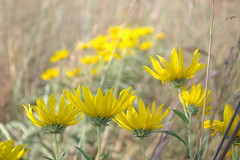 Slow and easy (candiceshenefelt) Tags: flora flowers yellowflowers yellow field nature naturaleza flores linda pretty beautiful