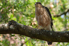 Cooper's Hawk male (Accipiter cooperii) (Robert Stalnaker) Tags: male nature birds gardens adult nest florida hawk wildlife birding raptor mead birdofprey guarding coopershawk accipitercooperii meadgardens robertstalnaker may52012