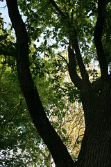 Oak trunk (RPahre) Tags: universityofillinois champaign oak spring robertpahrephotography copyrighted donotusewithoutwrittenpermission