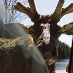 Through the window (Astigo) Tags: canada nature montral moose voiture qubec 20mm caribou animaux fentre parcomega cornes omegapark canoneos60d