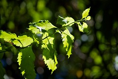 Leaves and light (Deb Jones1) Tags: green nature beauty leaves canon garden botanical outdoors leaf flora bokeh flickawards debjones1