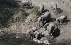 Drinking elephants (Elizabeth Grieb) Tags: africa travel vacation brown elephant green nature grass animals southafrica mammal movement wildlife krugernationalpark kruger africanelephant big5